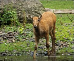 P'ere David's Deer by SilkenWinds