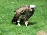 Vulture 04 by MixedStock