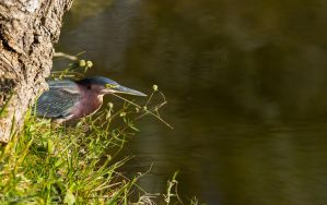 Green heron near lake by CyclicalCore