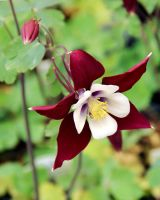 Columbine Hybrid 'Swan Burgundy and White' by TheSleepyRabbit