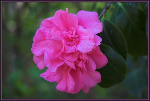 Pretty in Pink by caro77