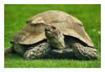 Young Giant tortoise II by JRose-Photography