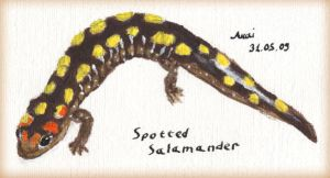 Spotted salamander by Akaiko
