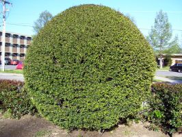 round shrub by turtledove-stock