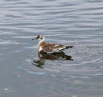 Young black headed gull by piglet365