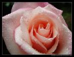 A Pink Rose by above-and-beyond