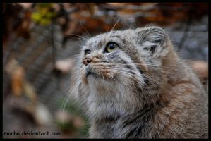 pallas's cat: look up by morho