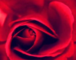 Rose by finwell