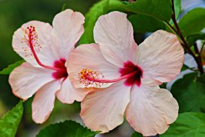 Hibiscus Flower Series 9 by a6-k
