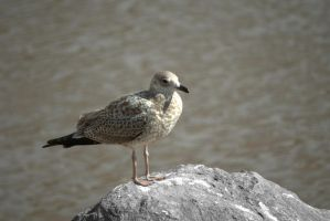 GULL on a ROCK by freezeframe666