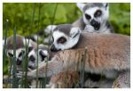 Ring-Tailed Lemur Gang by OrcOPhoto