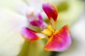Orchids IX by LDFranklin