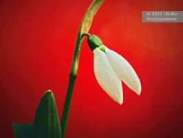 .:Snowdrop on Red:. by bogdanici
