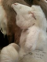 Lamb Born with No Lower Jaw Lateral view by Minotaur-Queen