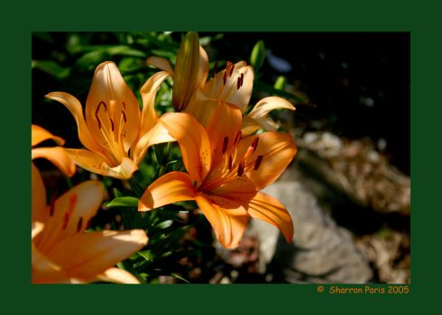 Oriental Lily - Orange by ShareLife