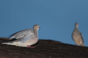 Mourning Doves by Farzaan-Ab