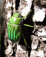 Chrysina gloriosa by WeirdBugLady