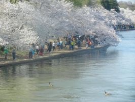 Ducks By the Cherry Blossoms by Flaherty56