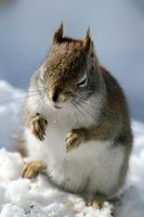 Red Squirrel Squee by wottwin