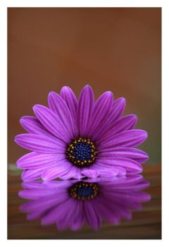 Osteospermum reflections by sourcow