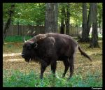 Bison_02 by Silliness