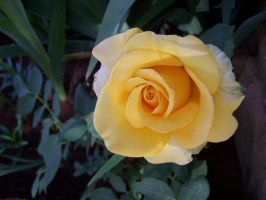 Yellow Rose by theNanna