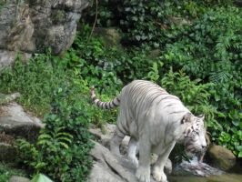 White Tiger Stock 2 by itsonlyaurl