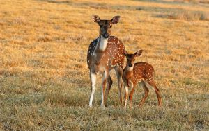 Axis Doe and Fawn by MorrighanGW