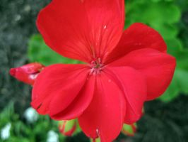 Red Flower by fartoolate