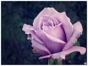 Lavender Rose 002 (27.10.14) by LacedShadowDiamond