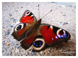 the peacock butterfly by wonderfulphoto