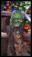 Photo: Peacock by Insidious-Ink