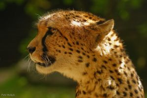 Cheetah II by Tygrik