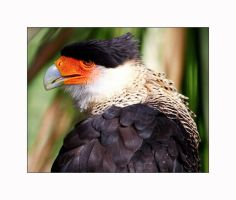 Caracara Portrait by OpticaLLightspeed