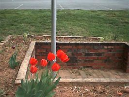 A Side of Tulips by GeneveveX