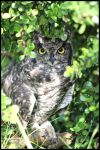 Hiding Owl by mikewilson83