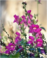 Snapdragons in the garden by SvitakovaEva