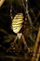 Waspspider Beauty by webcruiser