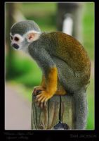 Squirrel Monkey by photographicsam