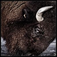 Bison - Square by Karl-B