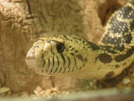 Bullsnake by Destroyah93