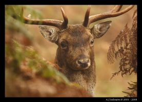 Stag I by andy-j-s