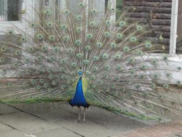 Male peacock by apple-kitty