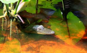 Okefenokee Gator Baby by Intergrativeone