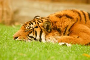 30 tiger shut eye by Chunga-Stock