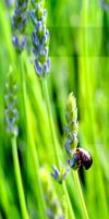 Summer Tone Poem With Lavender Beetle by aegiandyad