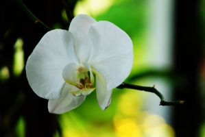 Orchid flowers 21 by a6-k