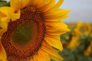 Sunflower 02 by TonsofPhotos