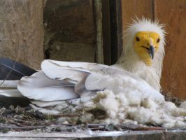 Egyptian Vulture 03 by animalphotos