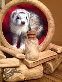Ferret fur-bottle FOR SALE *Ethically sourced* by SecondLifeTaxidermy